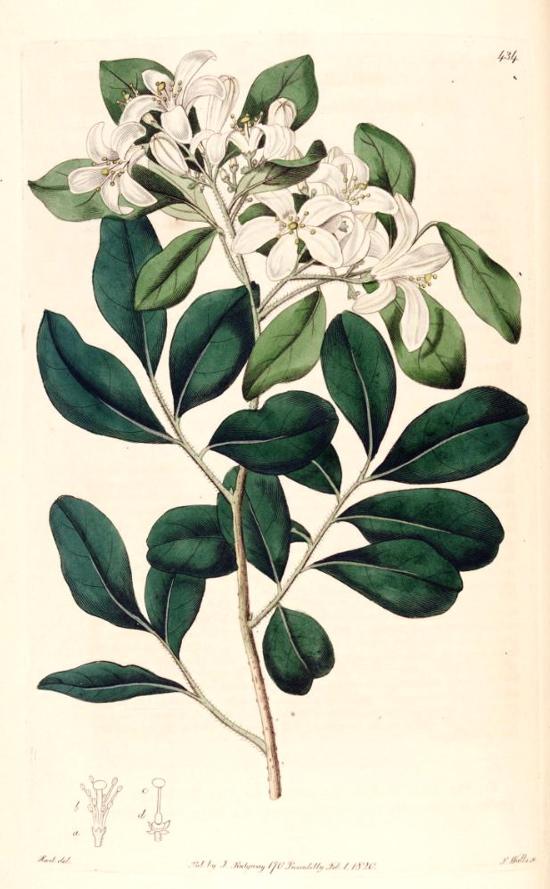 Curry Leaves - Murraya Koenigii