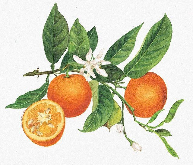orange blossom citrus sinensis luminescents