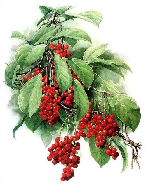 schizandra berries schisandra chinensis wu wei zi luminescents. Black Bedroom Furniture Sets. Home Design Ideas