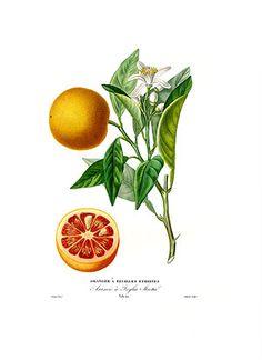 Blood Orange Essential Oil Citrus Sinensis