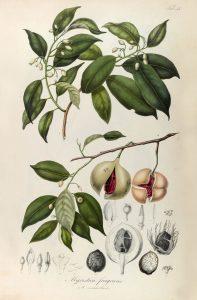 nutmeg botanical 003