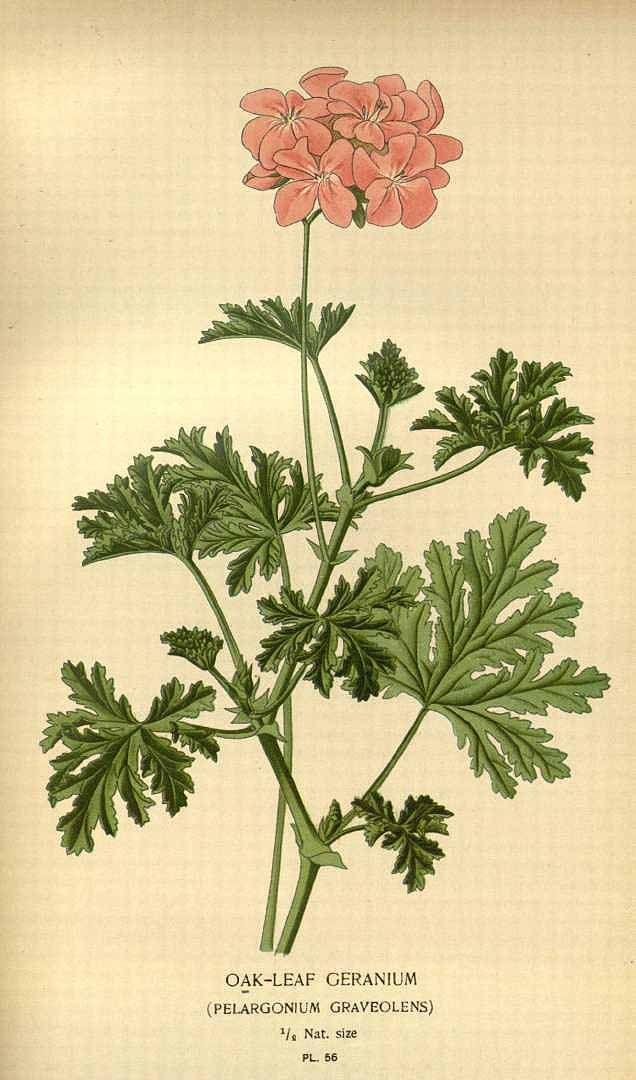 egyptian geranium essential oilpelargonium graveolens