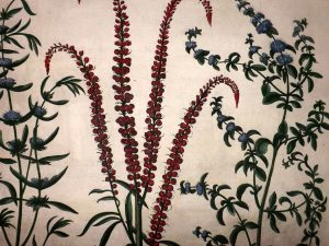 pennyroyal botanical print
