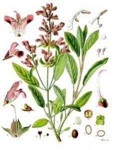 rosewood-botanical-image-001