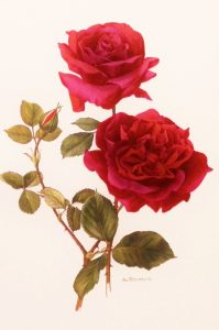 tea rose 001