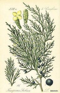 savine-botanical