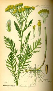 tansy-botanical