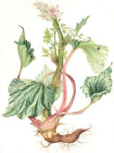 rhubarb-root-botanical