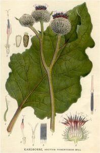 burdock-root-botanical
