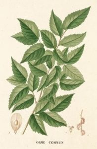 slippery-elm-bark-botanical