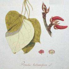 balm-of-gilead-botanical