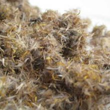 Inula japonica flowers copyright d hugonin