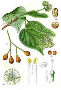lime flower botanical print