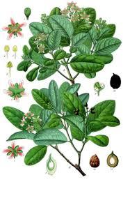 boldo leaf botanical print