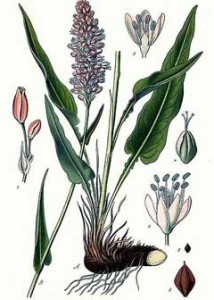 bistort botanical print 001