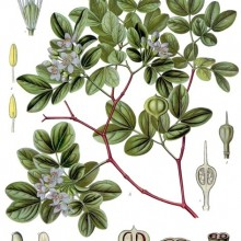 guaiacum-wood-Bulnesia-sarmeinti