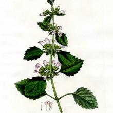 melissa-officinalis
