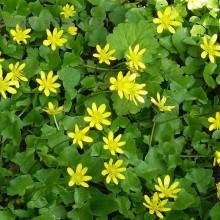 pilewort herb