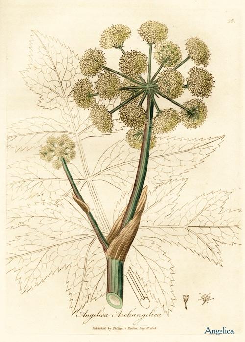 Angelica Root (Cut) - Angelica archangelica - Luminescents