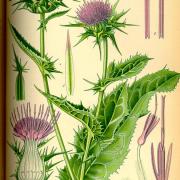 milkthistle-herb-botanical