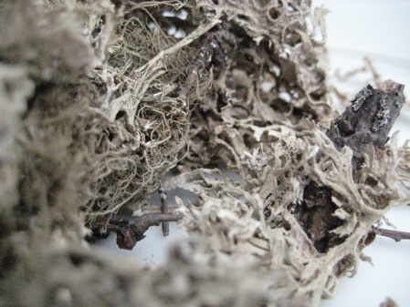 oak moss copyright d hugonin