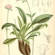 spikenard herb