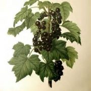 blackcurrant leaf