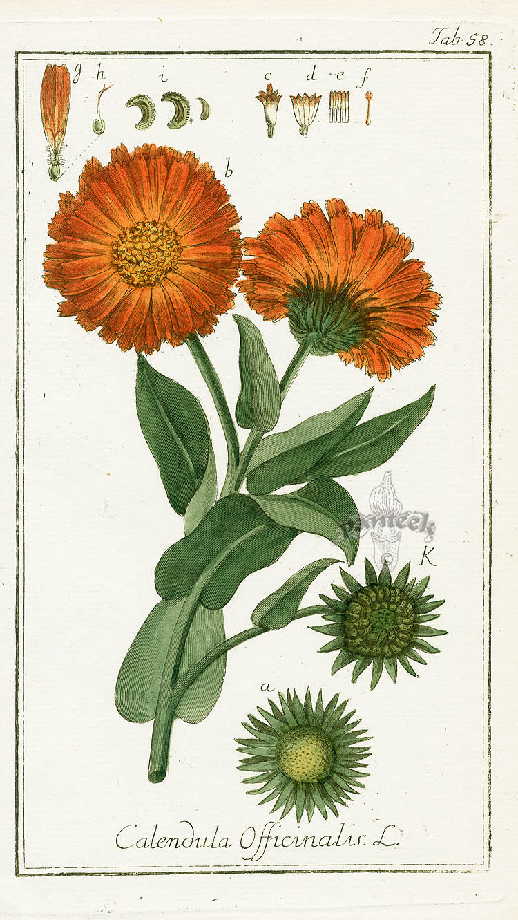 Calendula Absolute Oil-Calendula officinalis - Luminescents Calendula Flower Drawing