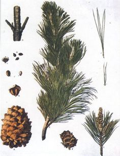 Siberian Fir Needle Essential Oil Abies Sibirica Luminescents