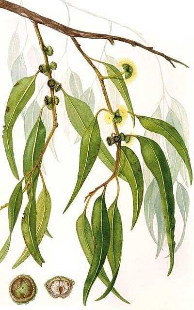 Eucalyptus Citriodora Essential Oil-Eucalyptus citriodora