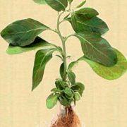 ashwagandha botanical