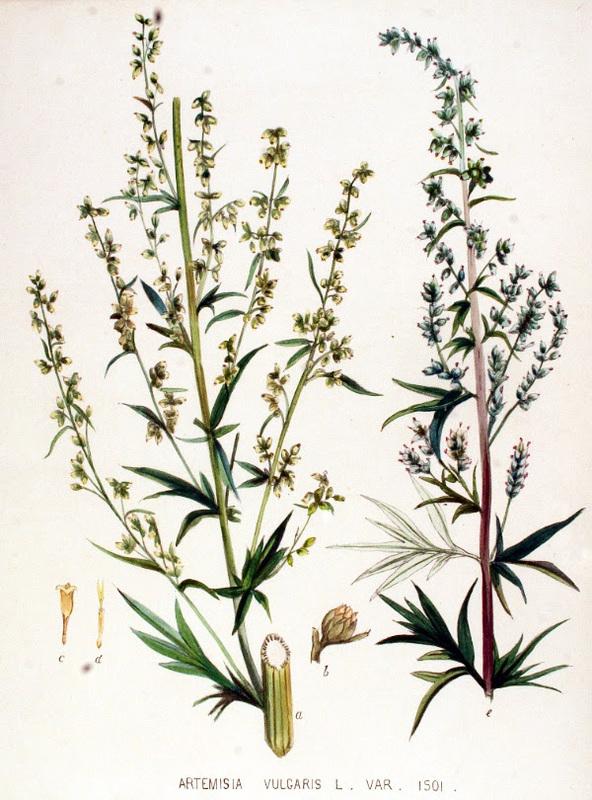Mugwort Herb Cut Ai Ye Artemisia Vulgaris
