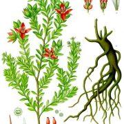 rhatany root