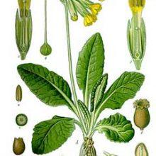 primula-veris-botanical