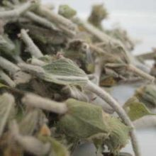 sideritis-herb
