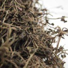 ban bian lian - chinese lobelia - lobelia chinensis copyright d hugonin