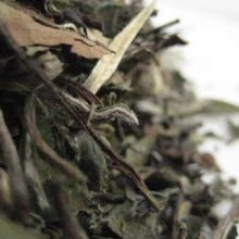 Ching Pai Mui Tan White Tea copyright d hugonin