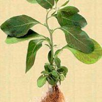 Ayurvedic Herbal