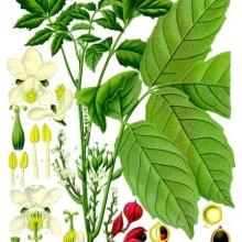 Amazonian Herbal