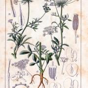 ajowan botanical 02
