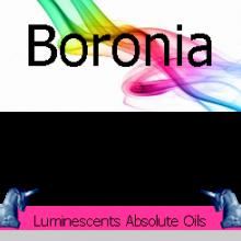 Boronia megastigma.jpg