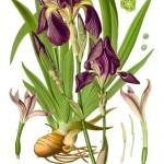 orris root botanical print