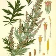 artemisia vulgaris botanical print