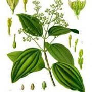 cinnamon leaf botanical print