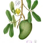 soursop botanical print
