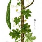 cerasee botanical print