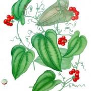 Smilax balbisiana - chaney root