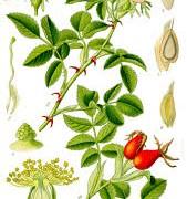 rosa canina botanical print