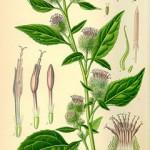 burdock botanical print 001