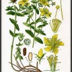 st johns wort botanical print